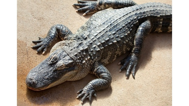Police: Suspect used alligator to threaten kidnapped man