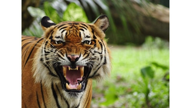They called 911 to report a tiger in New York City, but that wasn't quite right