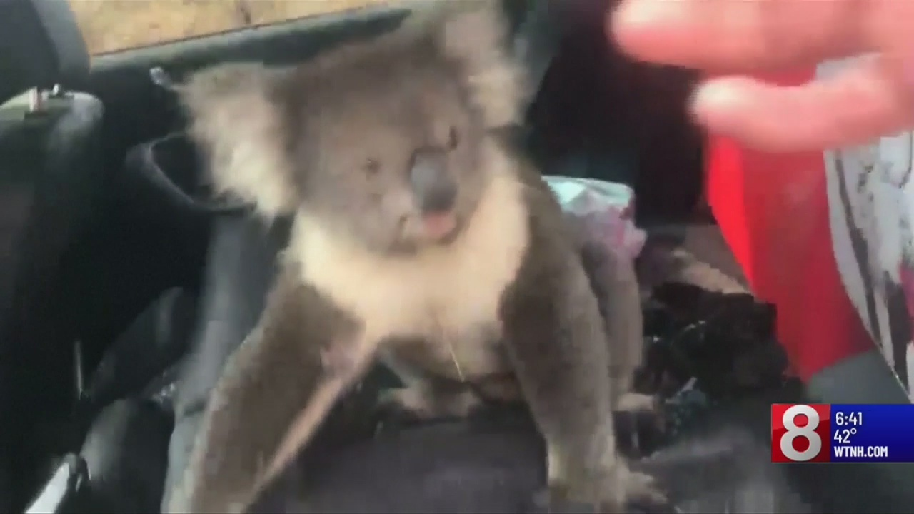 Video__curious_koala_sneaks_into_car_to__11_78492329_ver1.0_1280_720